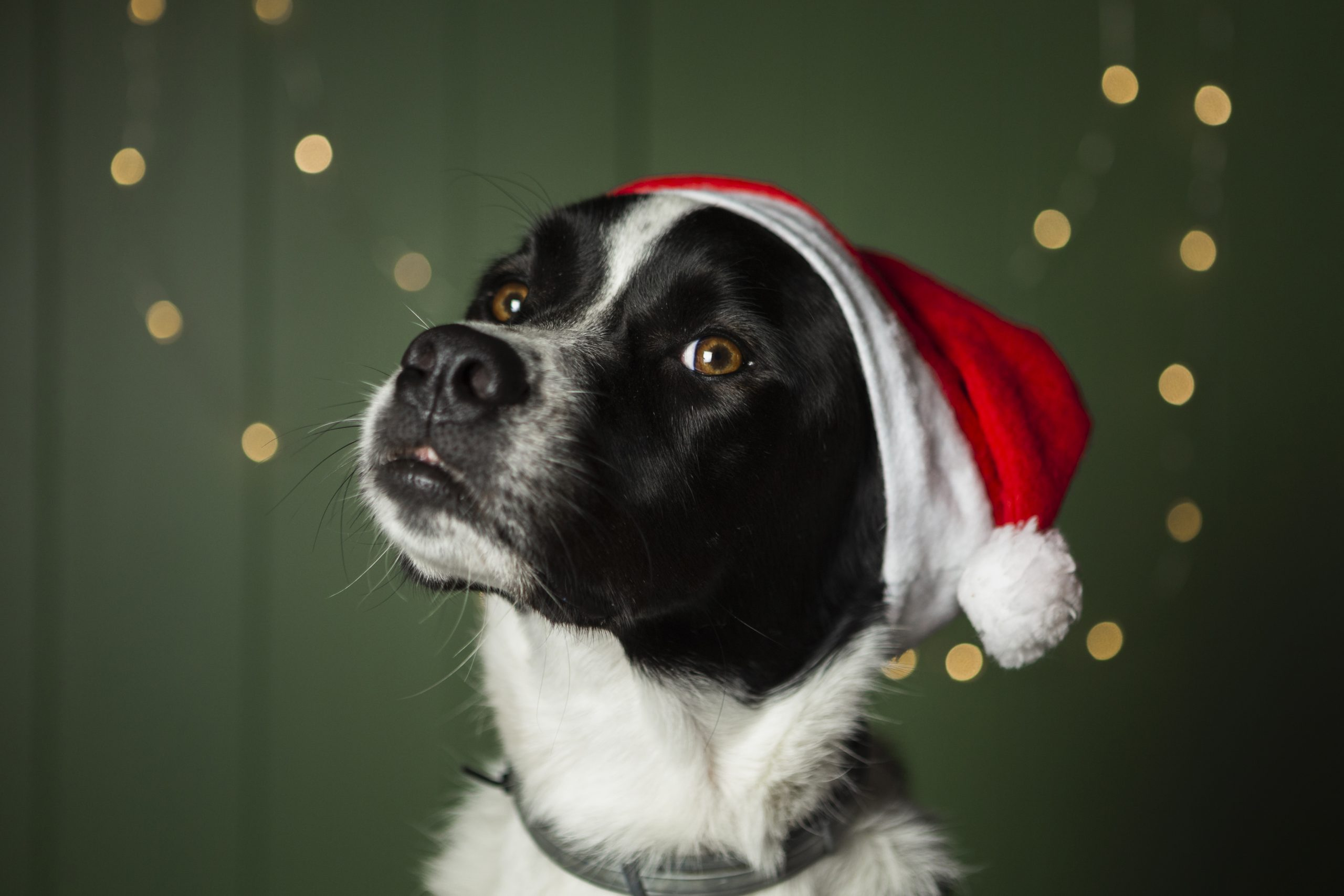 Living with dogs: tips for the holidays