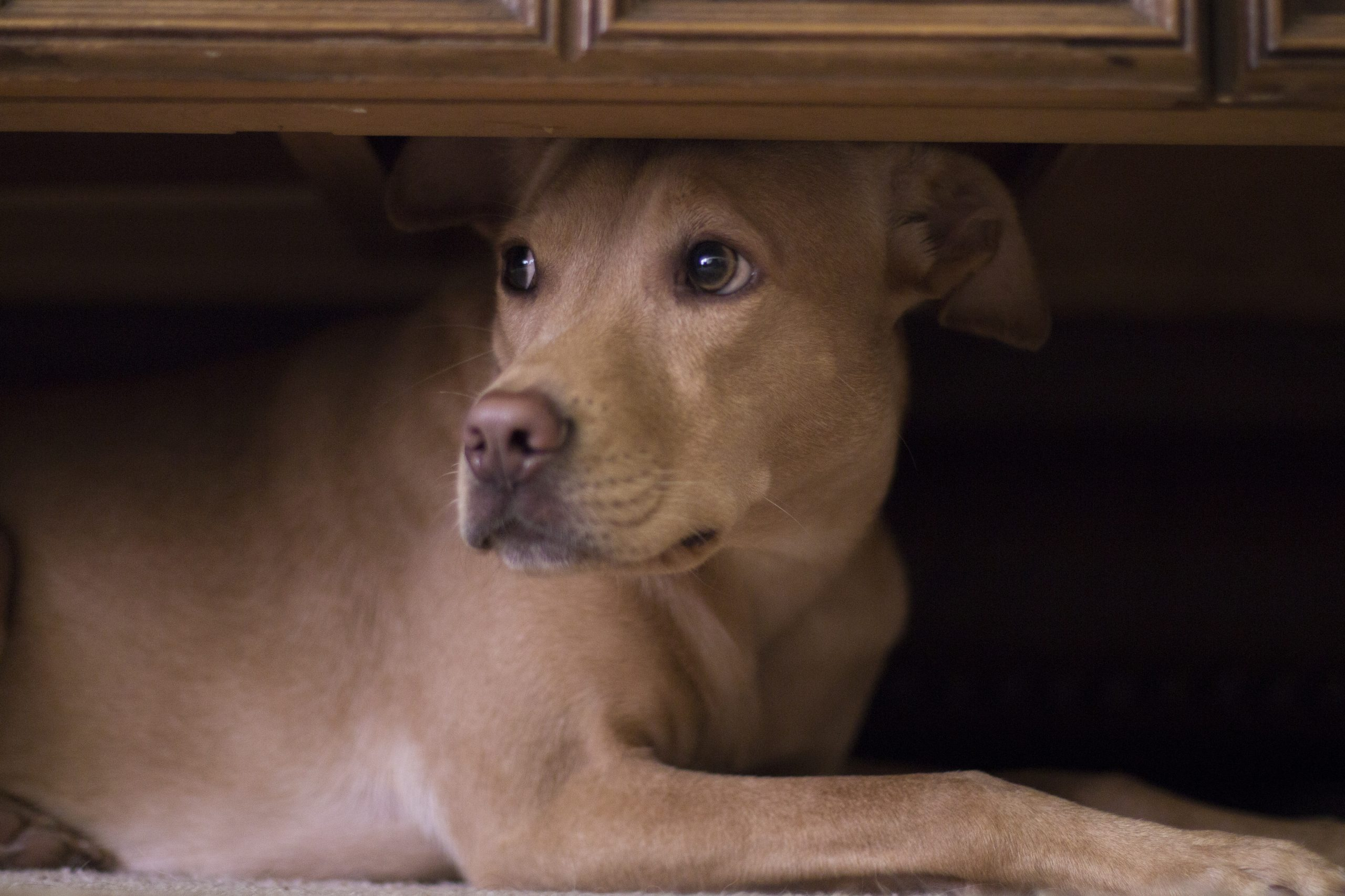 The thunder-phobic dog: tips for weathering the storm